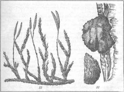 Длина стебля 1-3 м. Местные названия плауна булавовидного (рис. 55): плаун-трава, плавучка, текун, бегун, дереза.